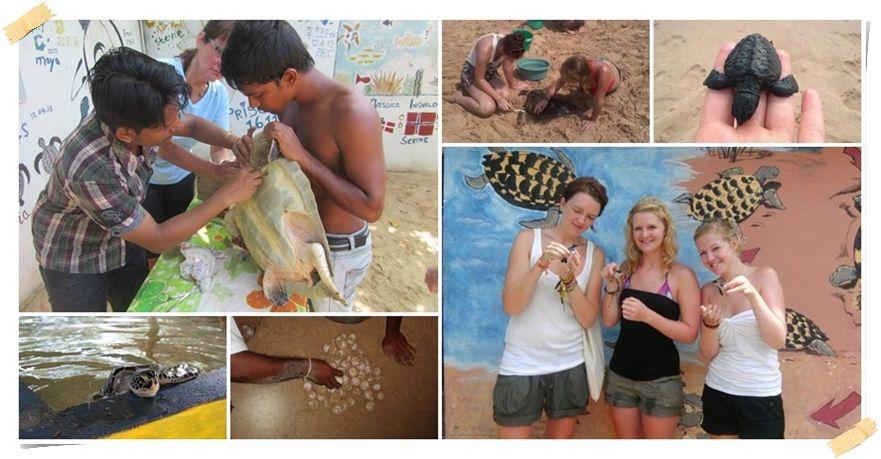 volontärer havssköldpaddor Sri Lanka