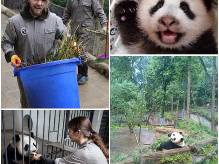volontärarbeta-med-pandor-kina
