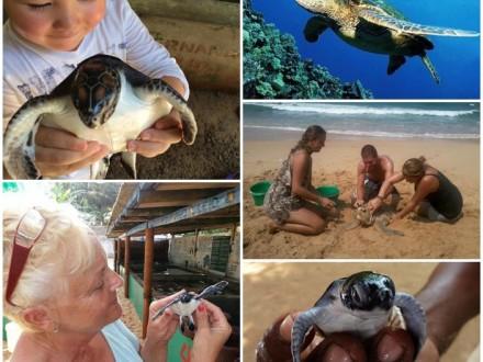 Volontär sköldpaddor Sri Lanka