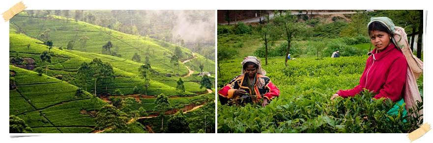 eventyrresie-srilanka-Nuwara Eliya