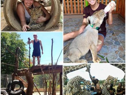 volontärresor-thailand-lejon-tigrar