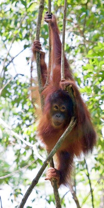 volontärresor-orangutang