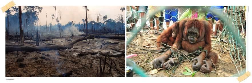 frivillig-arbeid-orangutang-malaysia
