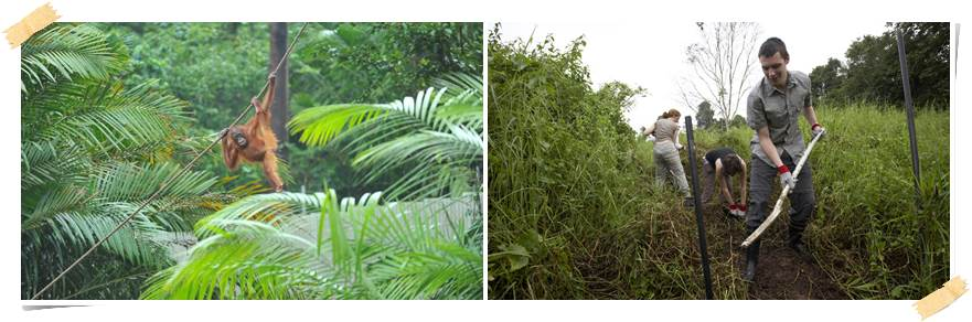 orangutang-frivillig-arbied