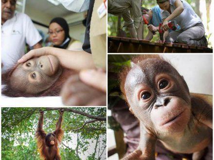 volont채rarbete-orangutanger-malaysia-frivillig-arbeid