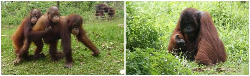 volontärresor-orangutang-malaysia