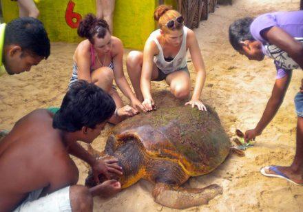 volontärresor-sri-lanka-sköldpaddor